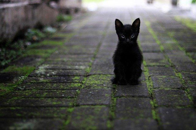 काली बिल्ली को अशुभ माना जाता है